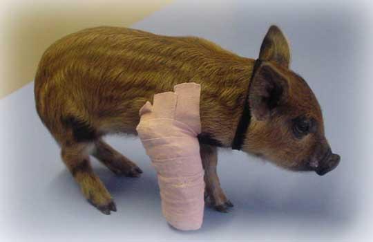 Lame Pig